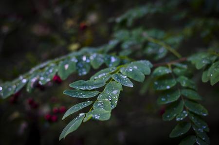 drops of cold autumn rain on acacia leaves