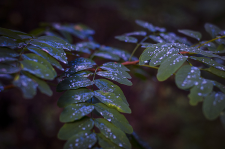 drops of cold autumn rain on acacia leaves