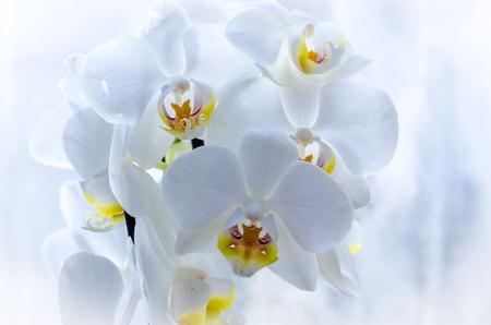 Orchidee auf der Fensterbank, Zimmerpflanze Nahaufnahme Standard-Bild