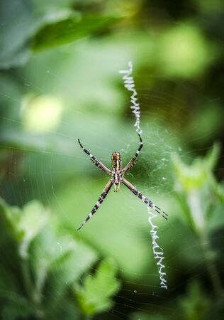 yellow-black spider argiope on the web