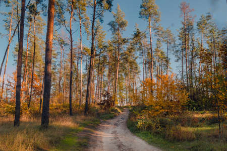 Dirt road in pine forest in autumn