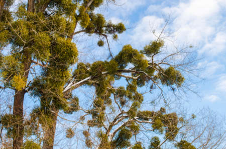 Trees infected with Mistletoe white parasitic for a long time Reklamní fotografie