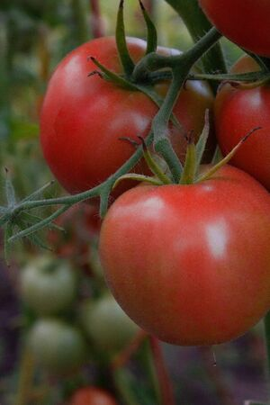 farm fresh tomatoes on a branch in a greenhouse Stock Photo