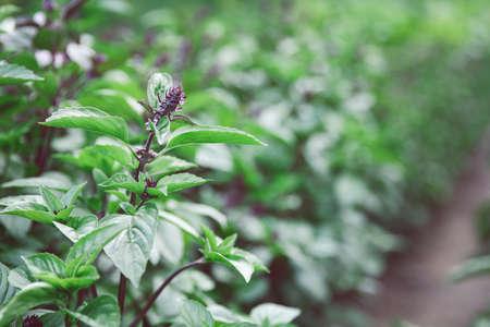 Garden of beautiful blooming basil close-up