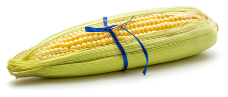 Sweet corn tied by blue bow isolated on white background