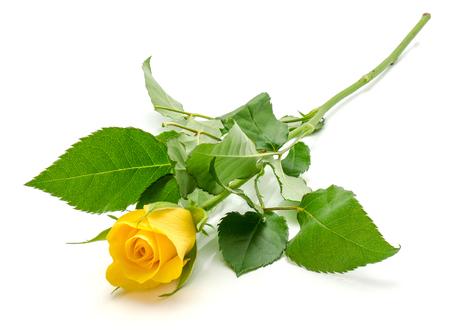 One fresh cut yellow rose isolated on white background