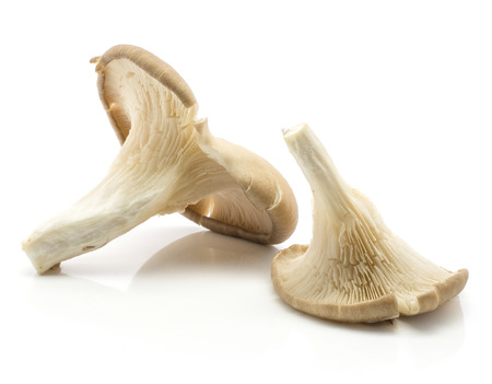 Oyster mushrooms (two Pleurotus ostreatus) isolated on white background raw uncooked