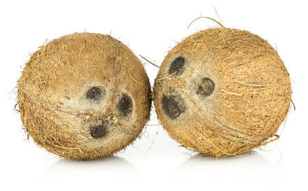 Coconuts isolated on white background two nuts brown fibrous shell