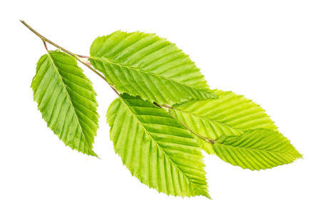 One whole fresh green plant elm branch rib leaves flatlay isolated on white Banque d'images