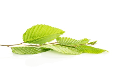 One whole fresh green plant rib leaves elm branch isolated on white 스톡 콘텐츠