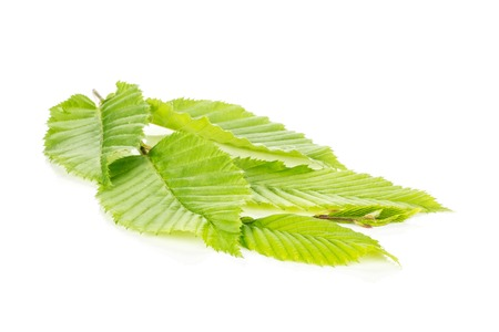 One whole fresh green plant fresh rib leaves elm branch isolated on white Stock fotó