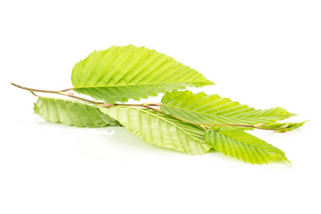 One whole fresh green plant elm branch with rib leaves isolated on white