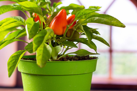 One whole fresh hot red orange chili pepper growing in a green pot with spanish window in background