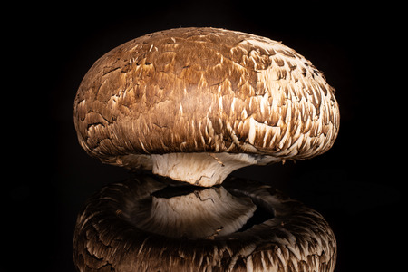 One whole raw fresh brown mushroom portobello isolated on black glass