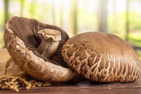 Group of two whole fresh brown mushroom portobello on jute cloth in a forest