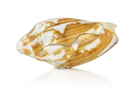 One whole mollusc shell spotted isolated on white background