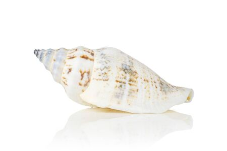 One whole ivory conic mollusc shell isolated on white background
