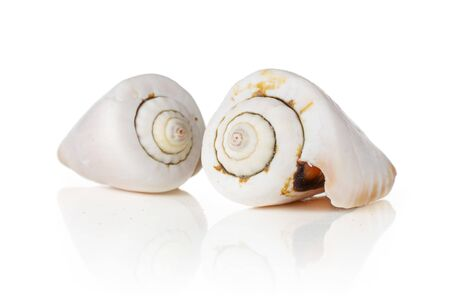 Group of two whole ivory mollusc shell isolated on white background Stok Fotoğraf