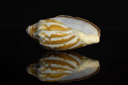 One whole mollusc shell empty isolated on black glass