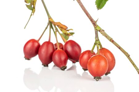 Group of eight whole fresh red rosehip isolated on white background