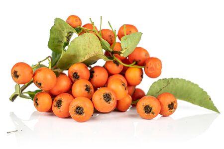 Lot of whole wild orange rowanberry heap isolated on white background
