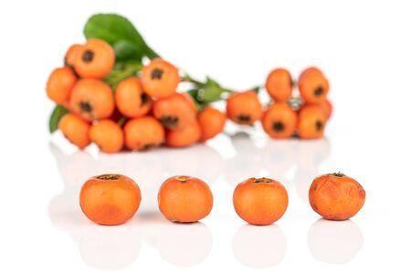 Lot of whole wild orange rowanberry in row isolated on white background