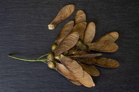 Lot of whole brown winged achene samara flatlay on grey stone Stock Photo