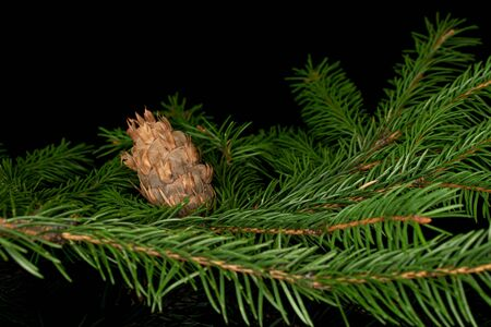 Lot of whole christmas green branch spruce isolated on black glass