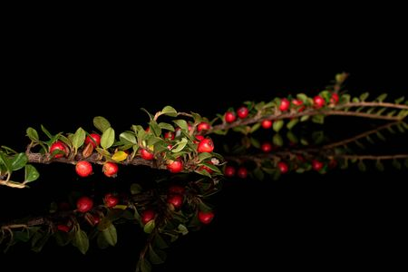 Lot of whole wild red rowanberry isolated on black glass