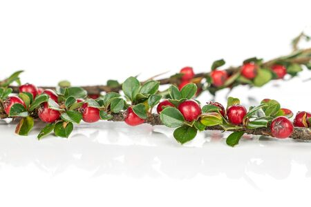 Lot of whole wild red rowanberry isolated on white background
