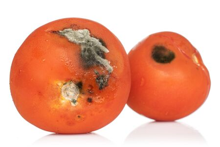 Group of two whole stale red tomato with mold isolated on white background