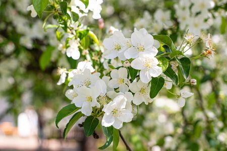 Beauty of spring white flowers in nature Stock Photo