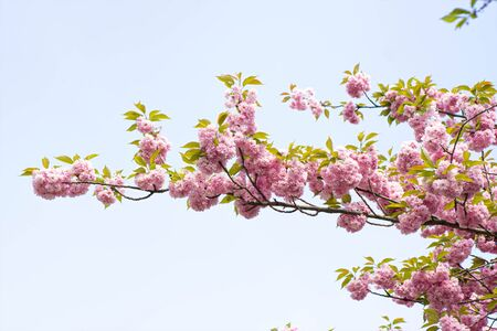 Spring pink blossom with clear blue sky