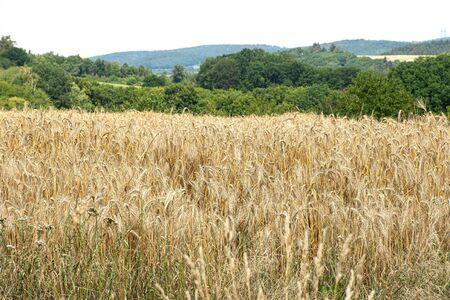 Beauty of golden wheat field