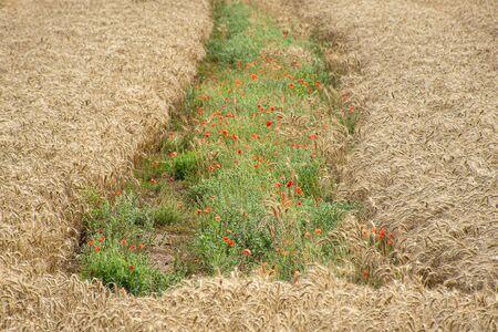 Golden wheat field with wildflowers in the middle Zdjęcie Seryjne