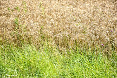 Beautiful golden wheat field in daylight Stock Photo