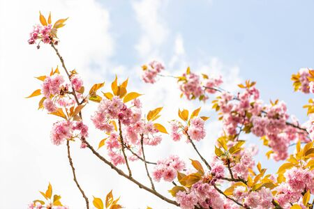Pink blooming branches with blue sky