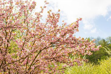 Beauty of pink blooming trees with blue sky in springtime