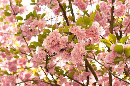 Spring pink blossom close-up
