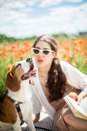 Young beagle dog in sunglasses in summer poppy field with his girl owner