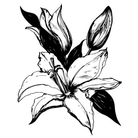Vector illustration of lily in black and white colors.