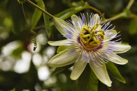 Beautiful exotic flower of passionflower