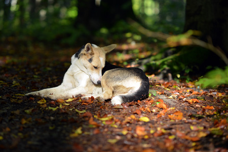 Dog lying on the forest road, which is dotted with fallen leaves.