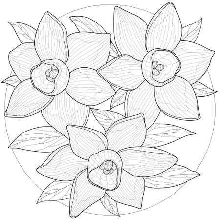 Daffodils flowers.Coloring book antistress for children and adults. Illustration isolated on white background.Zen-tangle style.