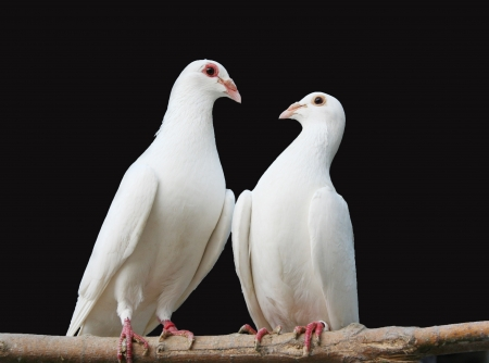 beak doves: two white doves look at each other, sitting on a branch