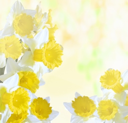 jonquil: daffodils on a bright sunny background