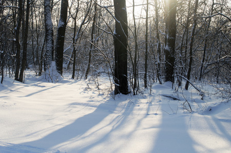 christmas grounds: beautiful winter forest in snow