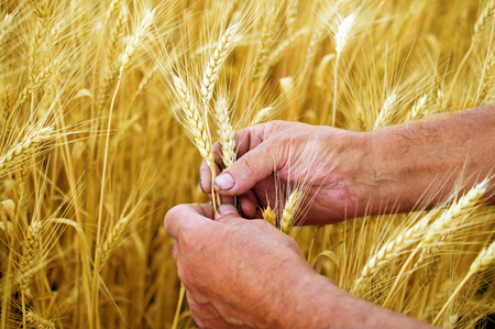 male hands holding ears of ripe wheat