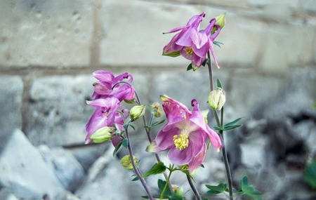 flowers of pink aquilegia against a brick wall background