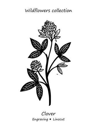 Steppe plant clover. Clover vector. Clover flower vector. Floral illustration. Wild plant illustration. Engraving vector clover flower.